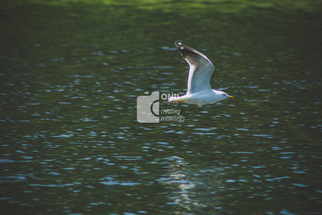 """Low Flying Seagull"" stock image"