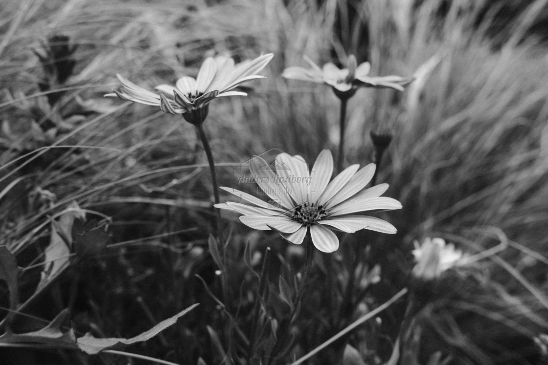 """Flower patch in black and white"" stock image"