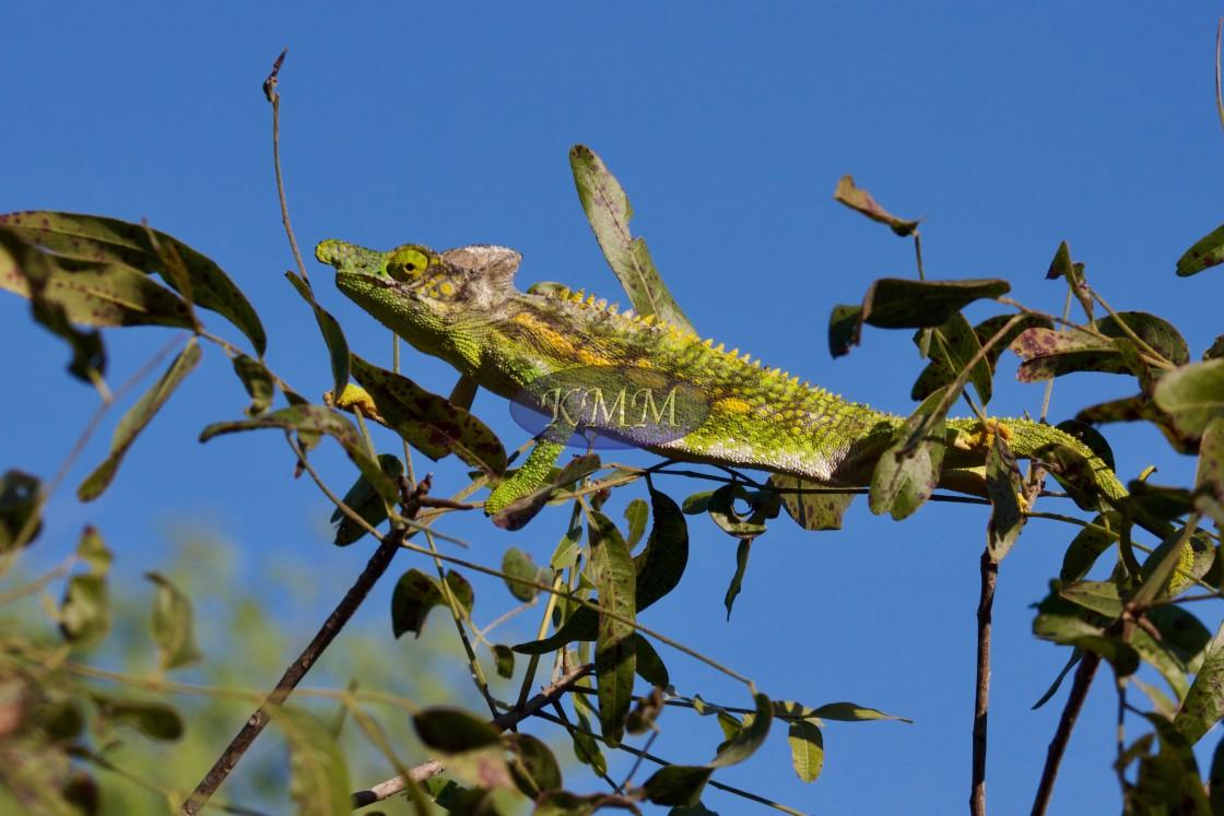 """""""Labord's chameleon, Ifaty, Madagascar"""" stock image"""
