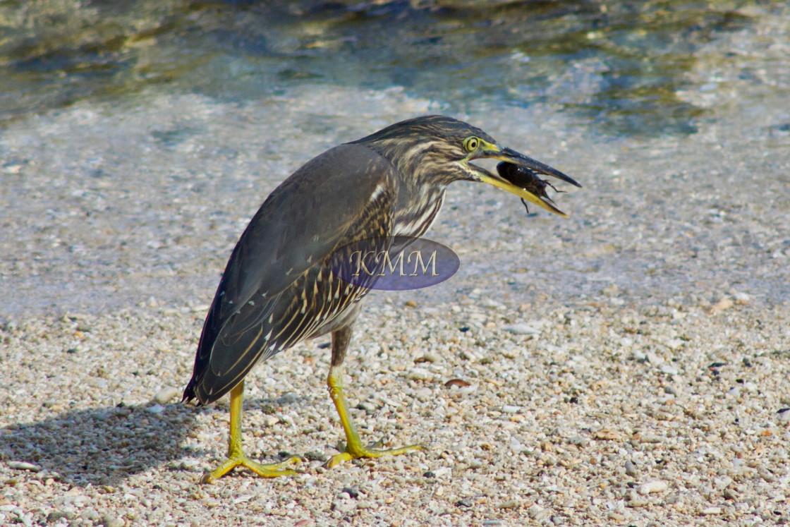 """Juvenile Striated Heron with Shrimp, Mauritius"" stock image"