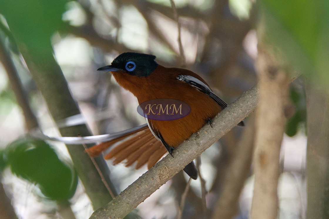 """Malagasy paradise flycatcher"" stock image"