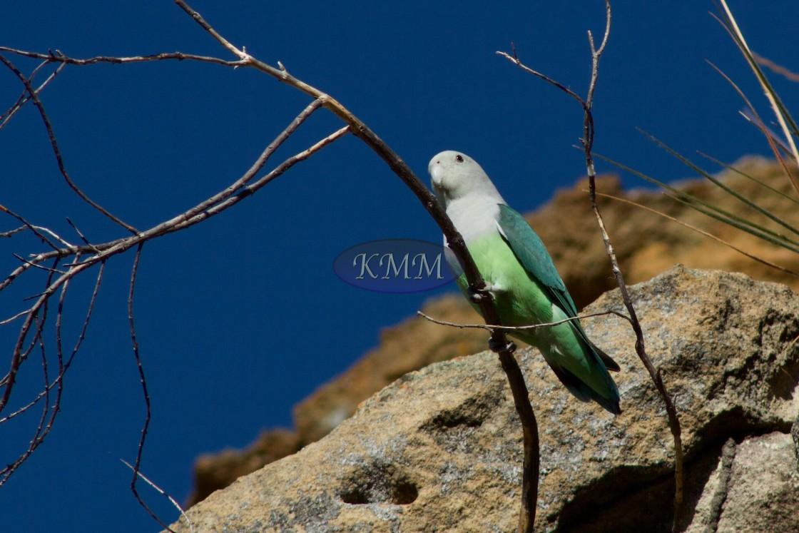 """Grey-headed Lovebird, Madagascar"" stock image"