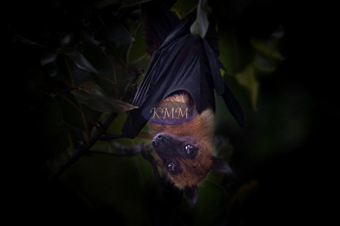 """Indian fruit bat/flying fox"" stock image"