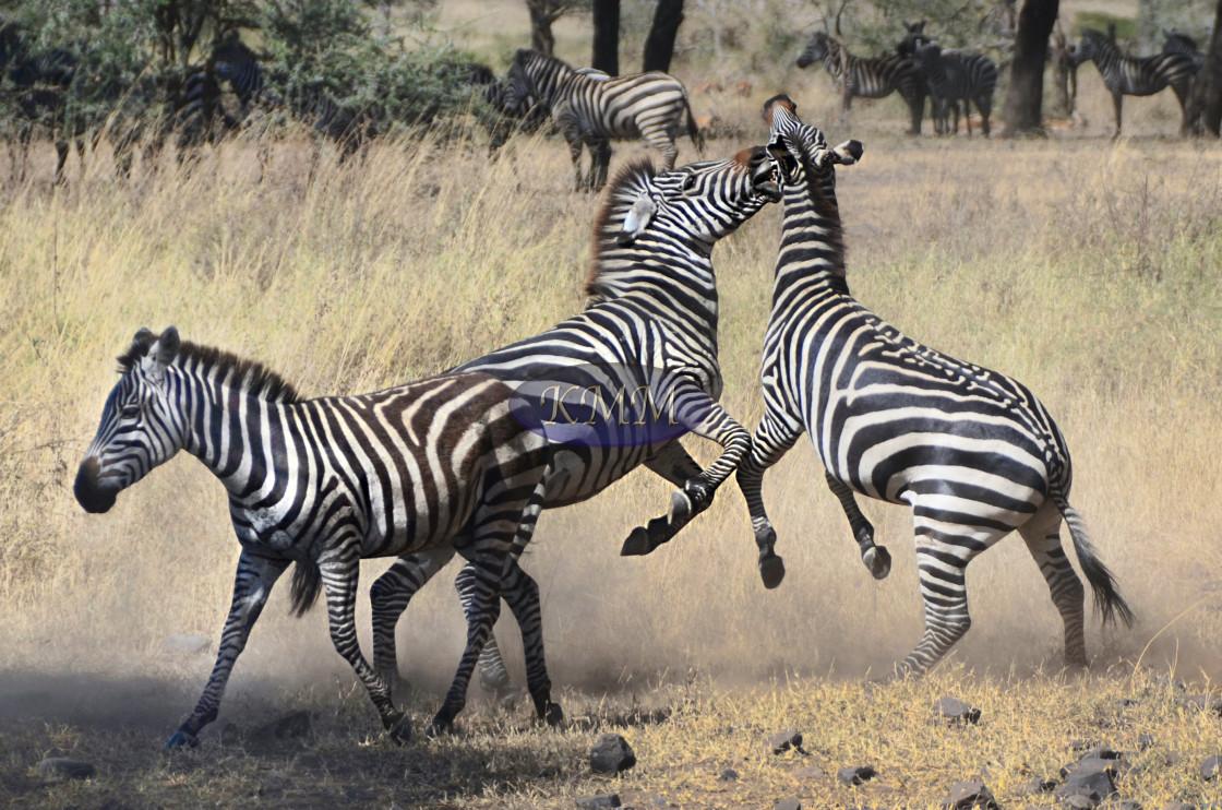 """Zebras Fighting, Ngorongoro Crater, Tanzania"" stock image"