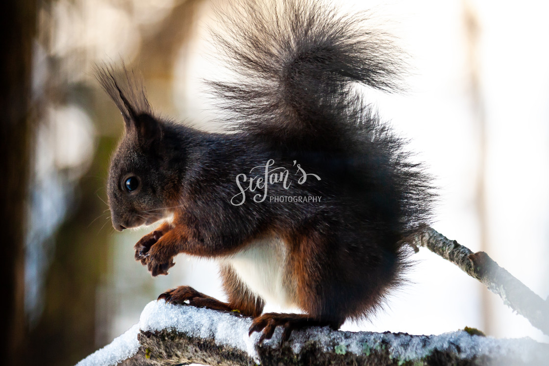 """""""A black squirrel eating in snowy conditions"""" stock image"""