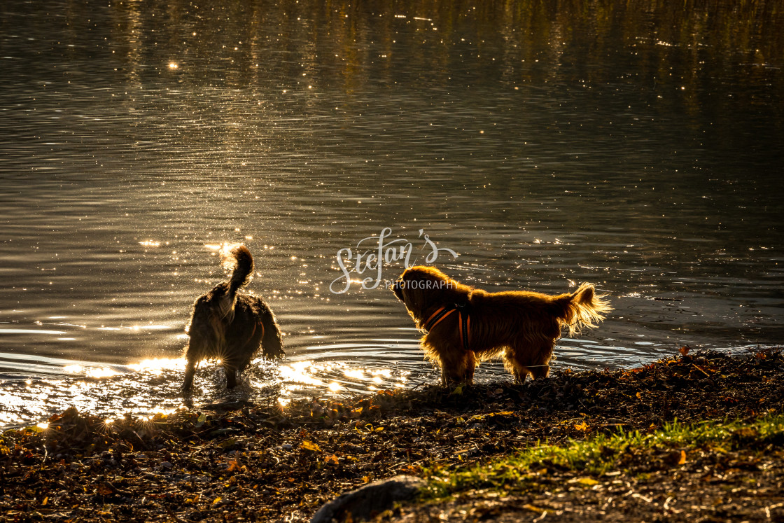 """""""Dogs play by the water"""" stock image"""