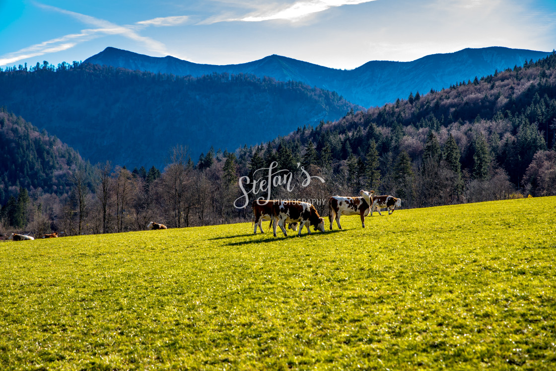 """""""Cows in pasture in autumn"""" stock image"""