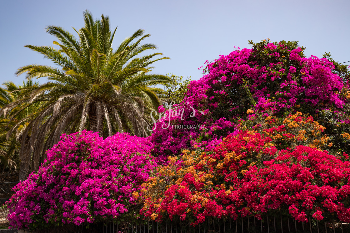 """""""Bougainvillea with palm"""" stock image"""