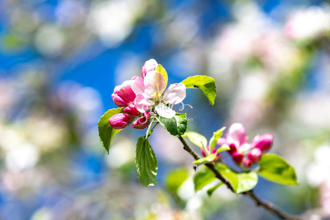 """""""Apple blossoms in spring"""" stock image"""
