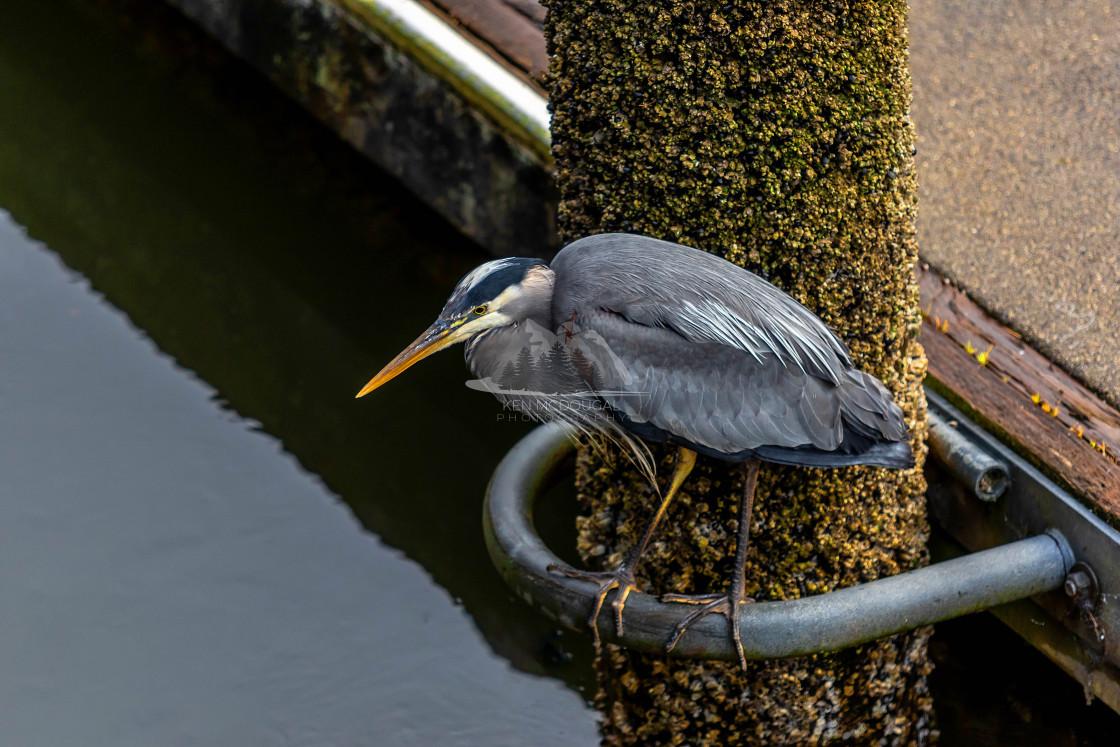 """Blue Heron on Dock"" stock image"