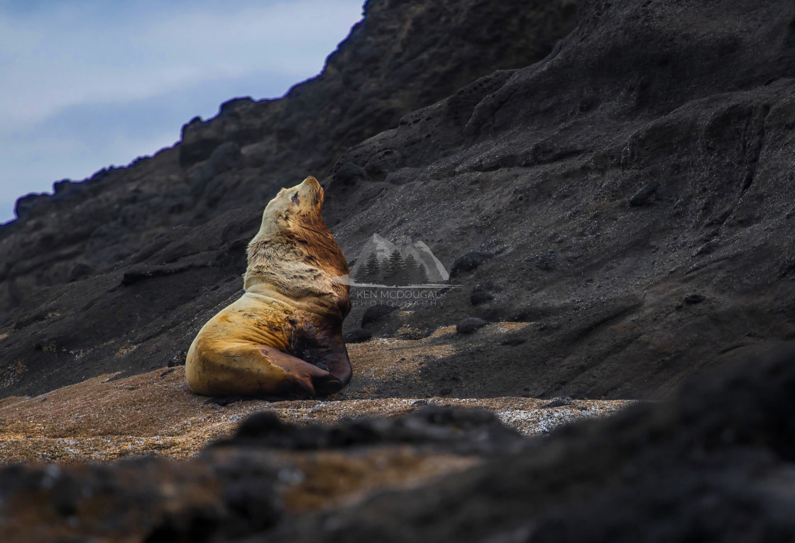 """Sea Lion on Rocks"" stock image"