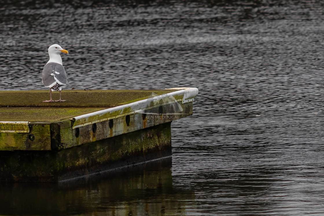 """Seagull on Dock"" stock image"
