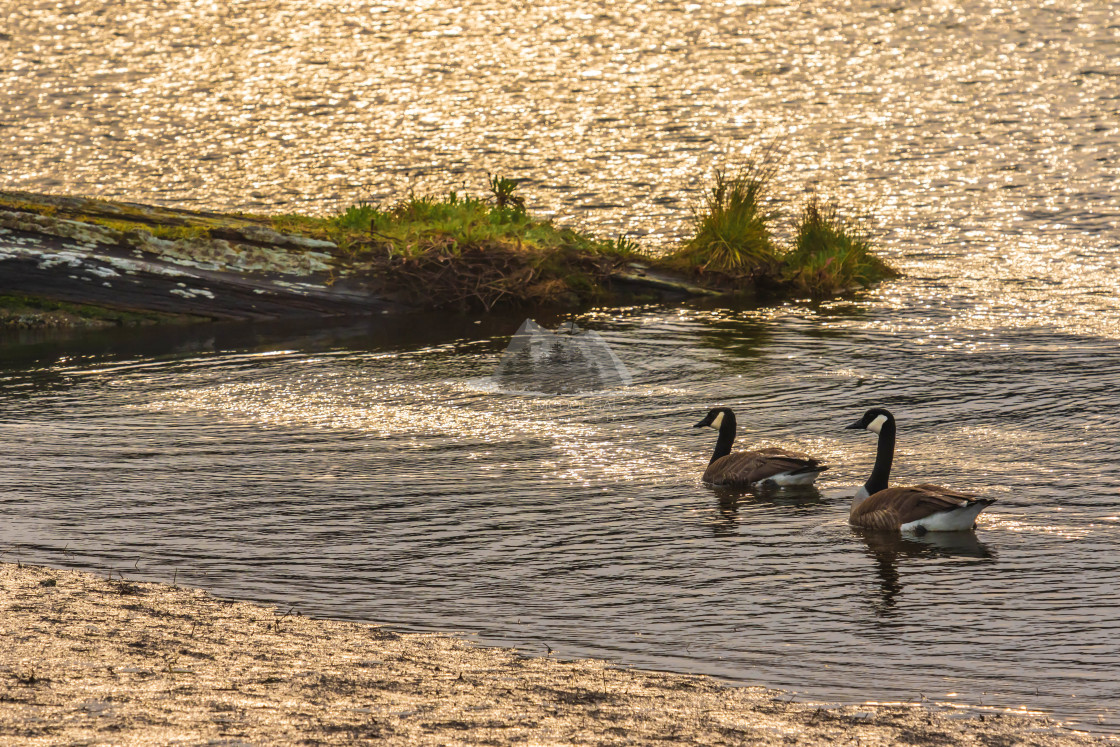 """""""Canada Geese Swimming."""" stock image"""
