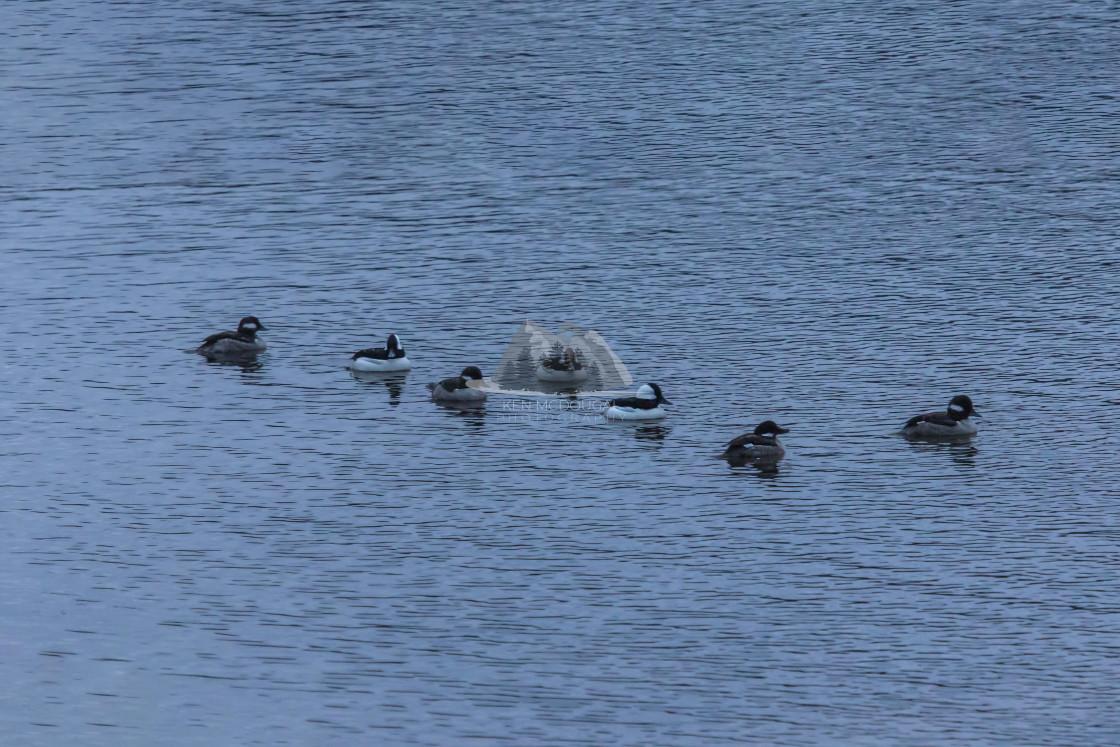 """Small Birds Swimming"" stock image"