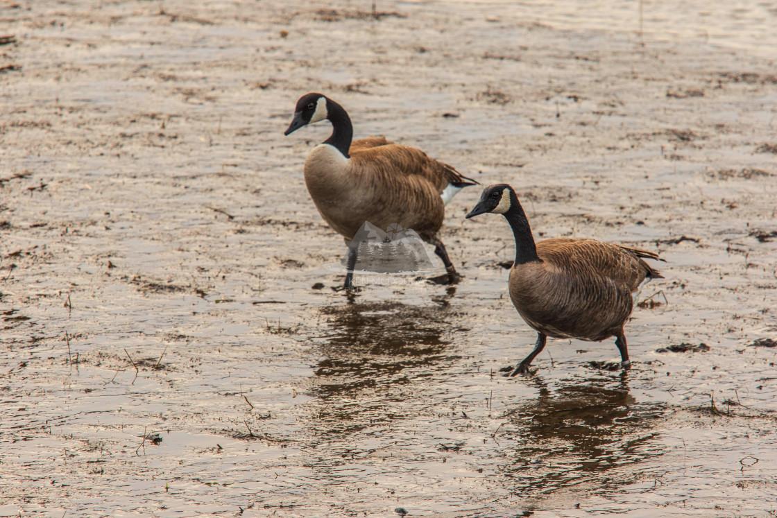 """Canada Geese Walking in Mud"" stock image"