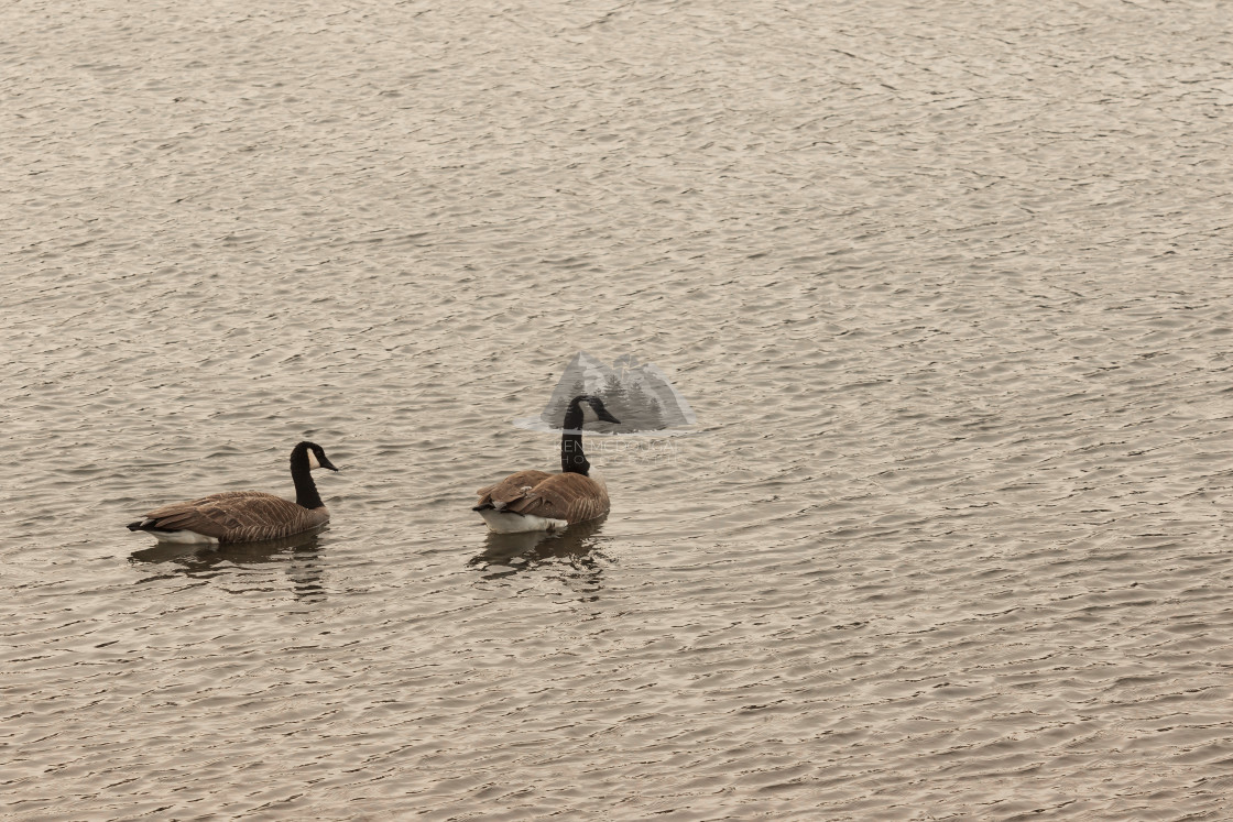 """Two Geese Swimming"" stock image"