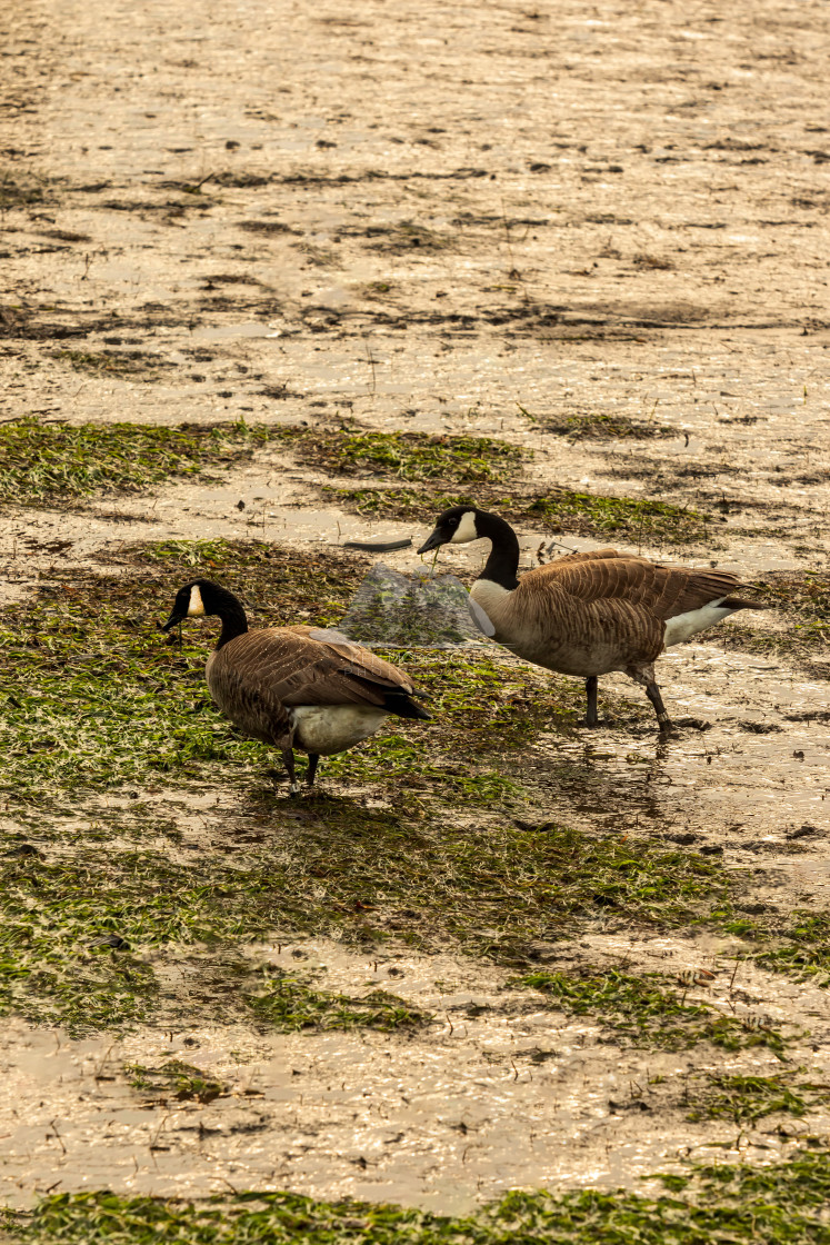 """Geese Waking at Low Tide"" stock image"