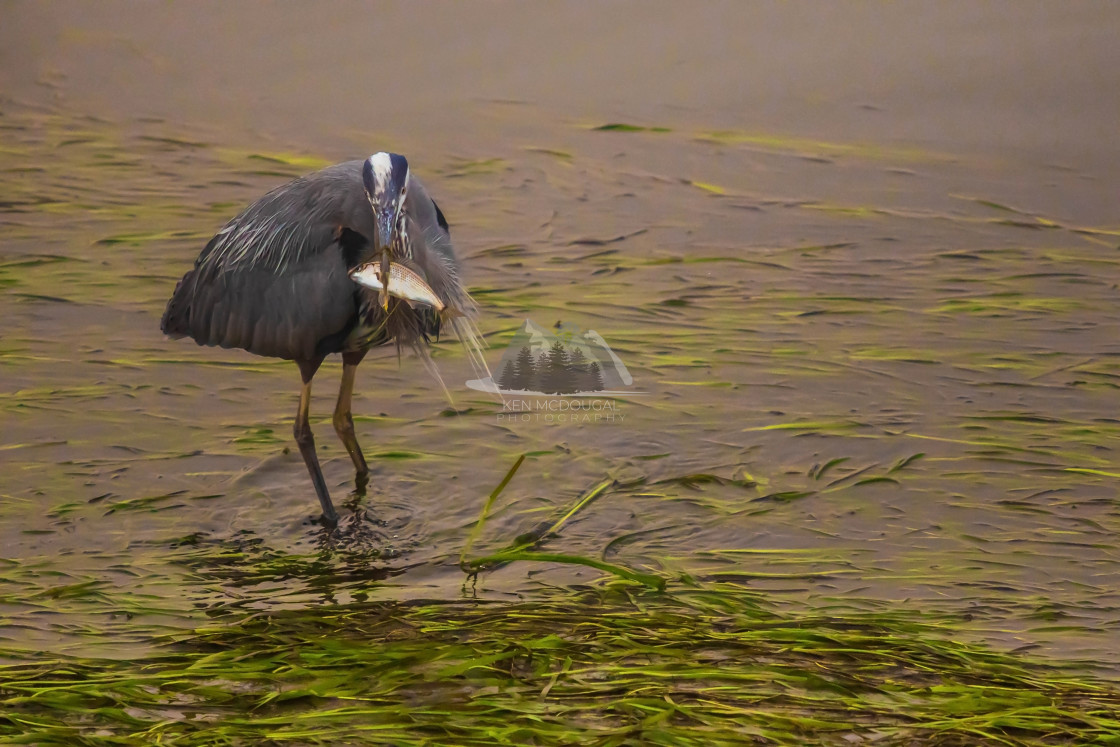 """Blue Heron with Fish"" stock image"