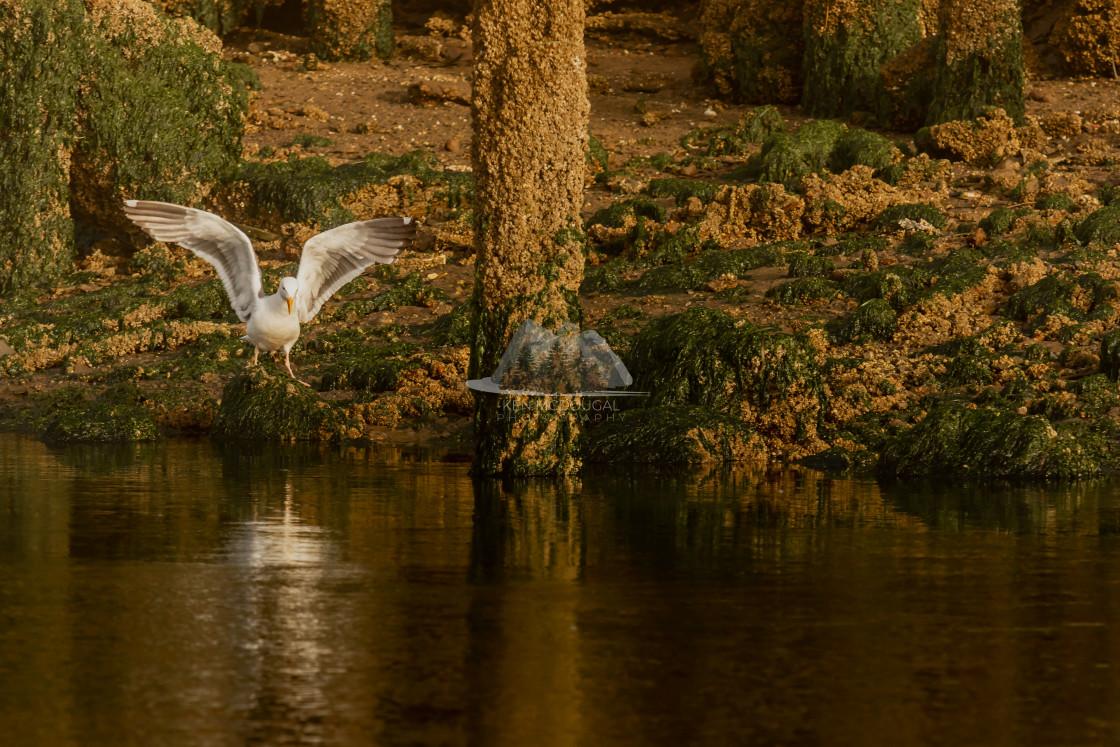 """Seagull at Sunrise"" stock image"