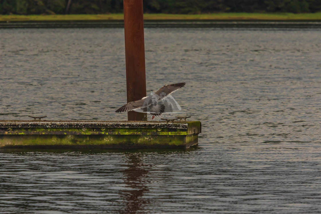 """Seagull landing on Dock"" stock image"