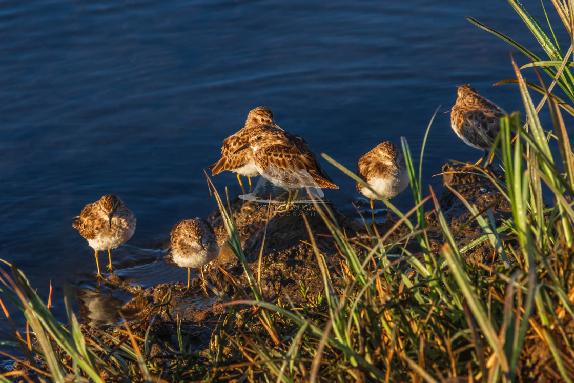 """Sparrow Flock on Shoreline"" stock image"