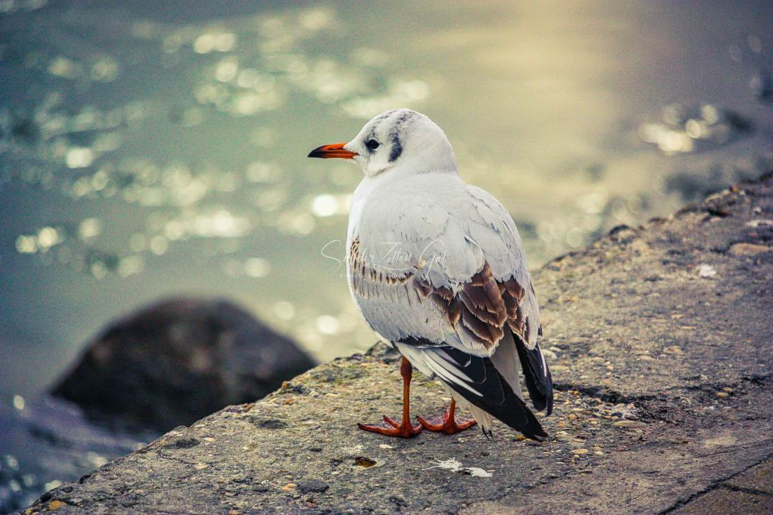 """Seagull 0002 - HDR"" stock image"