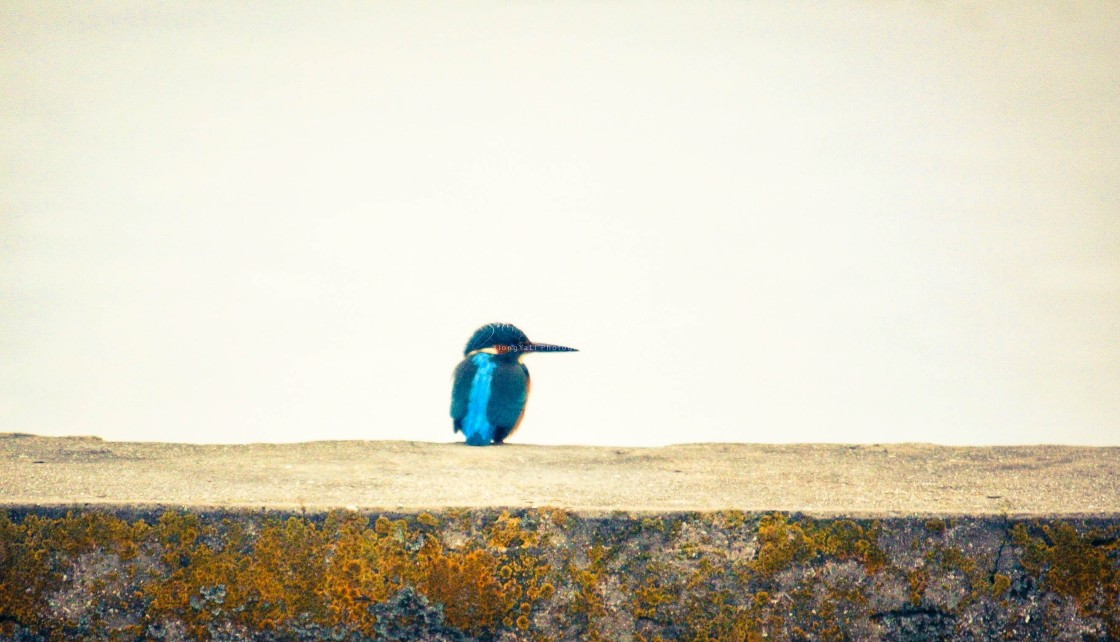 """Kingfisher 02 - HDR"" stock image"