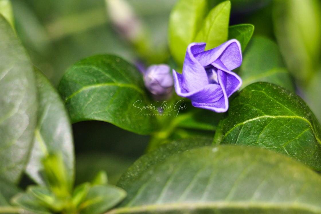 """""""Little blue flower"""" stock image"""