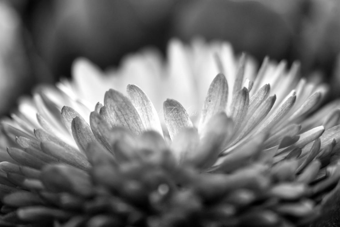 """Flower petals 01 - B&W"" stock image"