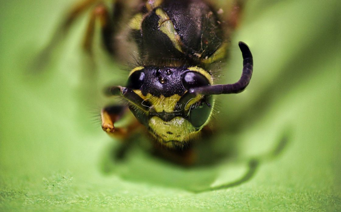 """Wasp Head 02 SuperMacro"" stock image"