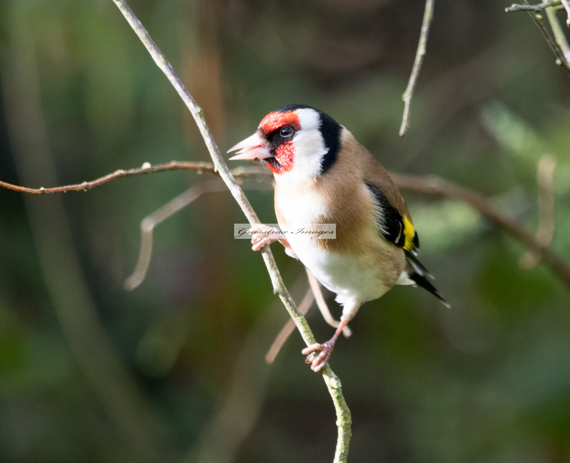 """Goldfinch (Carduelis Carduelis)"" stock image"