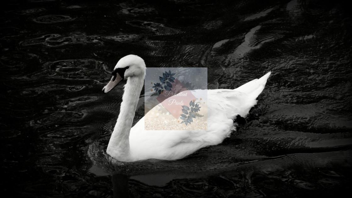 """Monochrome Swan"" stock image"
