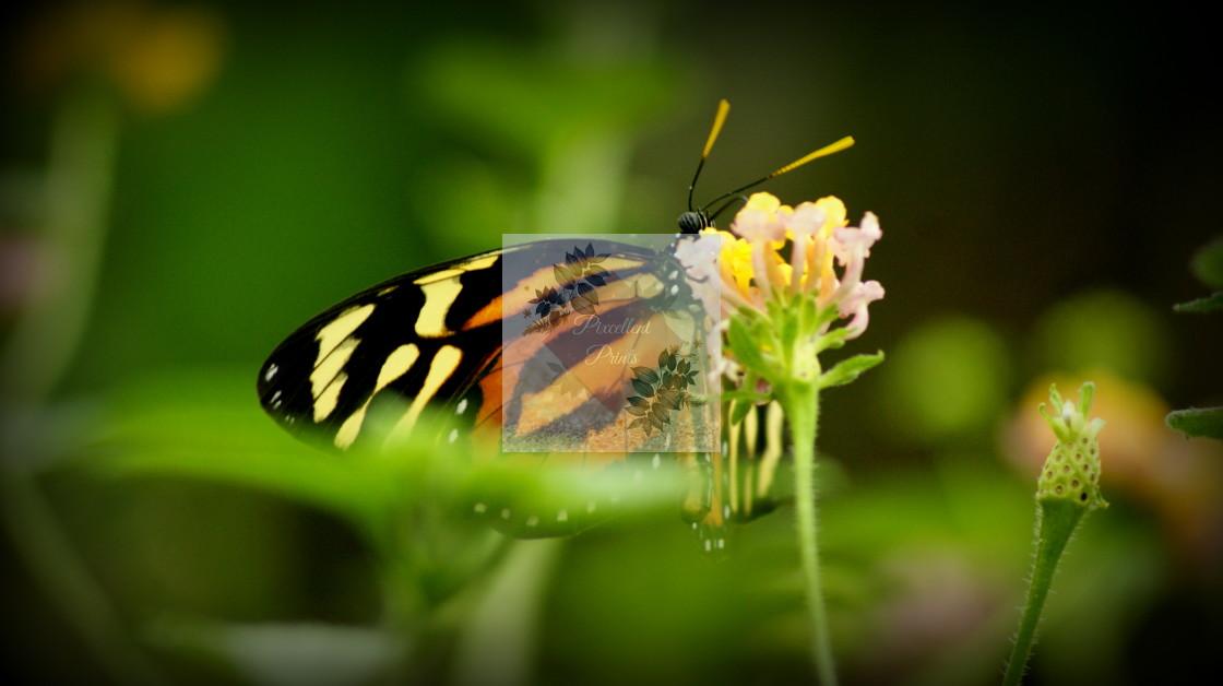 """Monach Butterfly"" stock image"