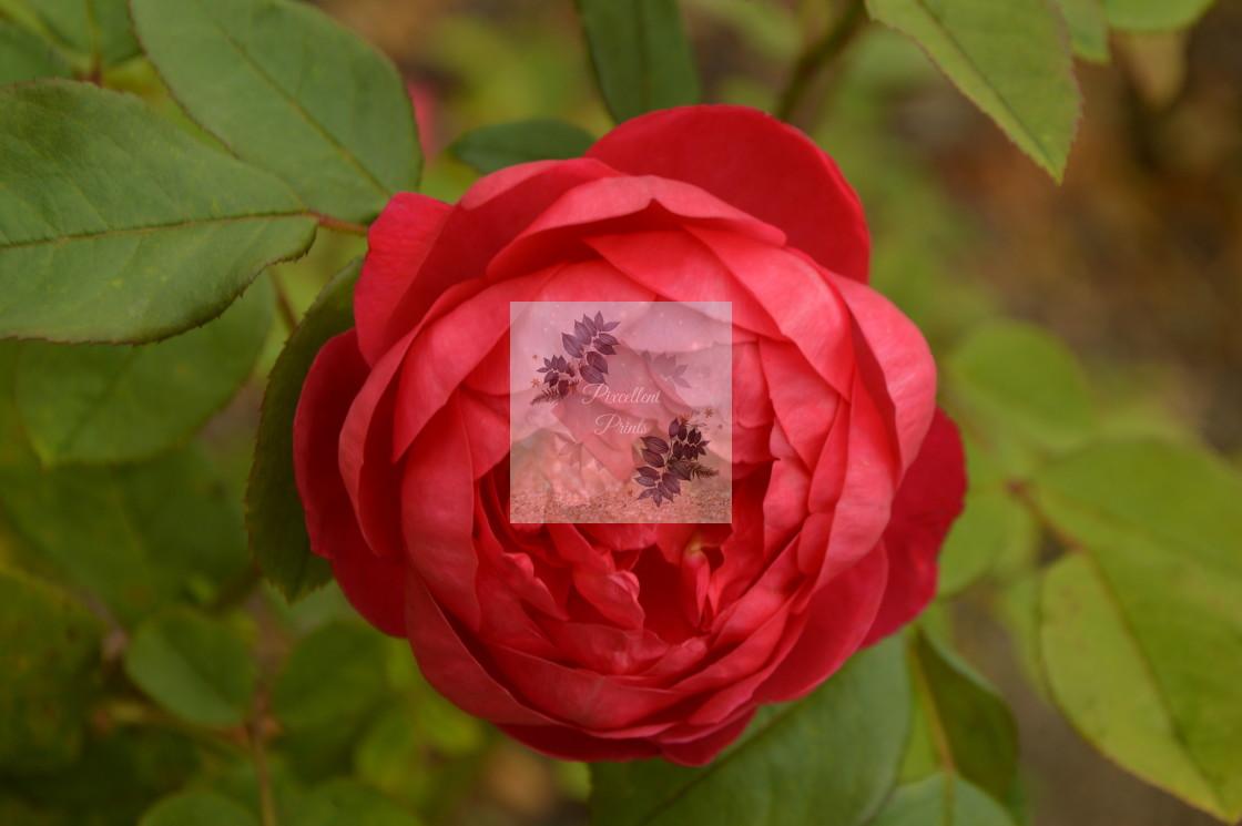 """Red Peony Rose"" stock image"