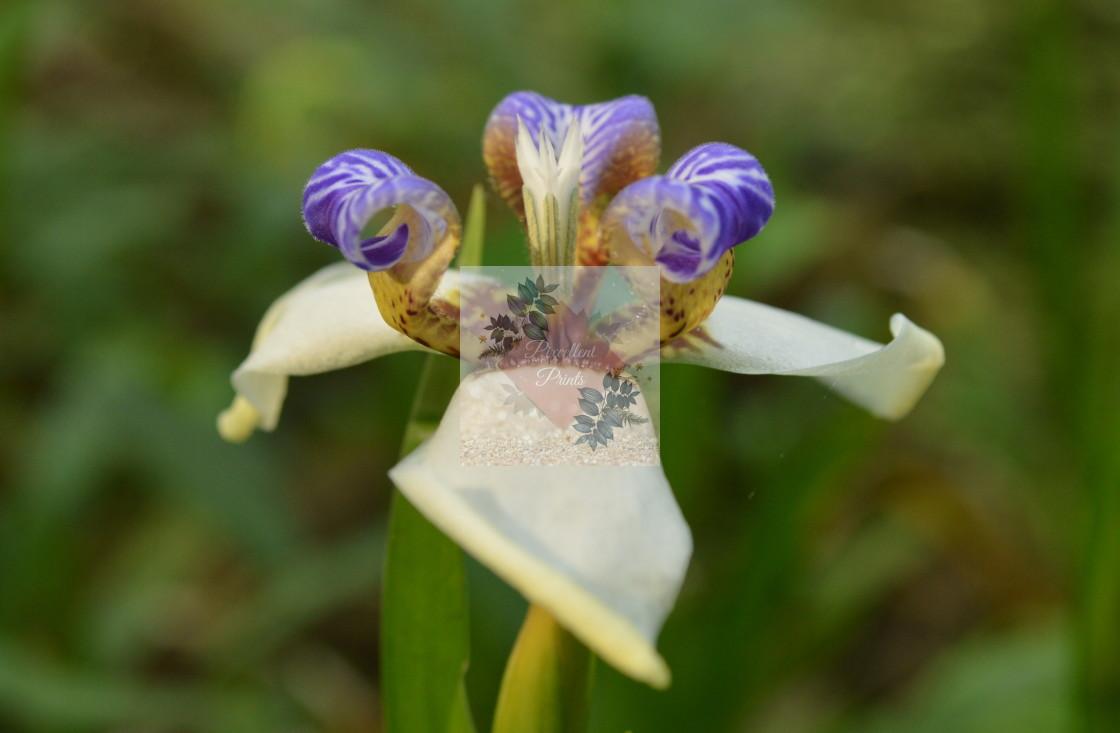 """""""Fleur de lis"""" stock image"""