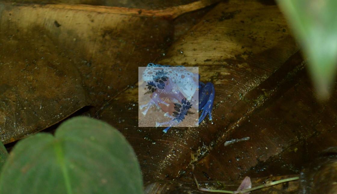 """Blue poison dart frog"" stock image"