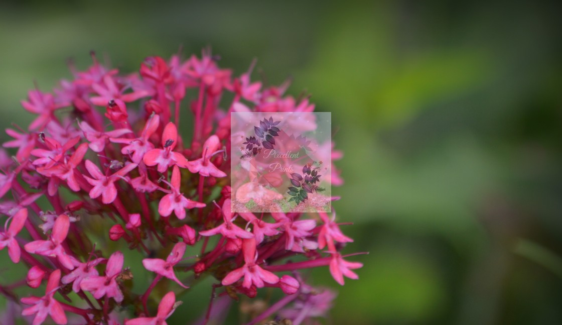 """Centranthus Ruber"" stock image"