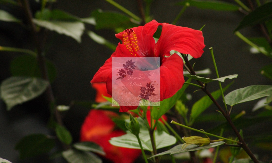 """Red Hibicus"" stock image"