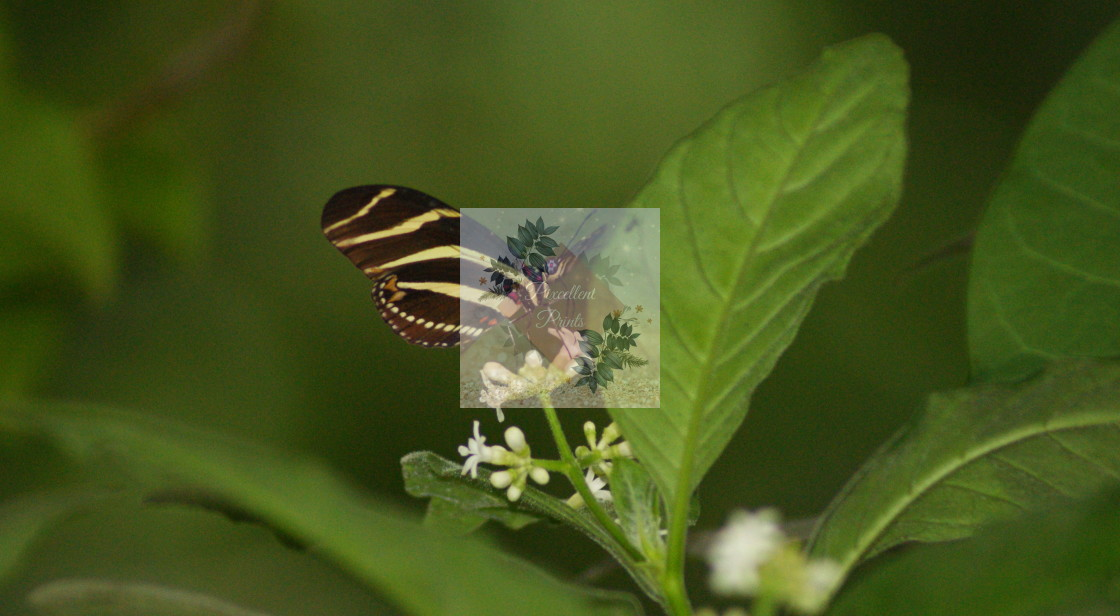 """""""Zebra Butterfly"""" stock image"""