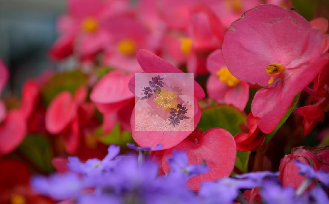 """""""Pink Begonia"""" stock image"""