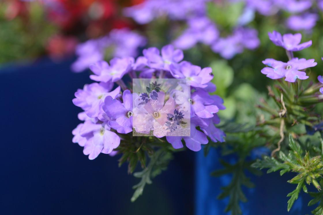"""Glandularia"" stock image"