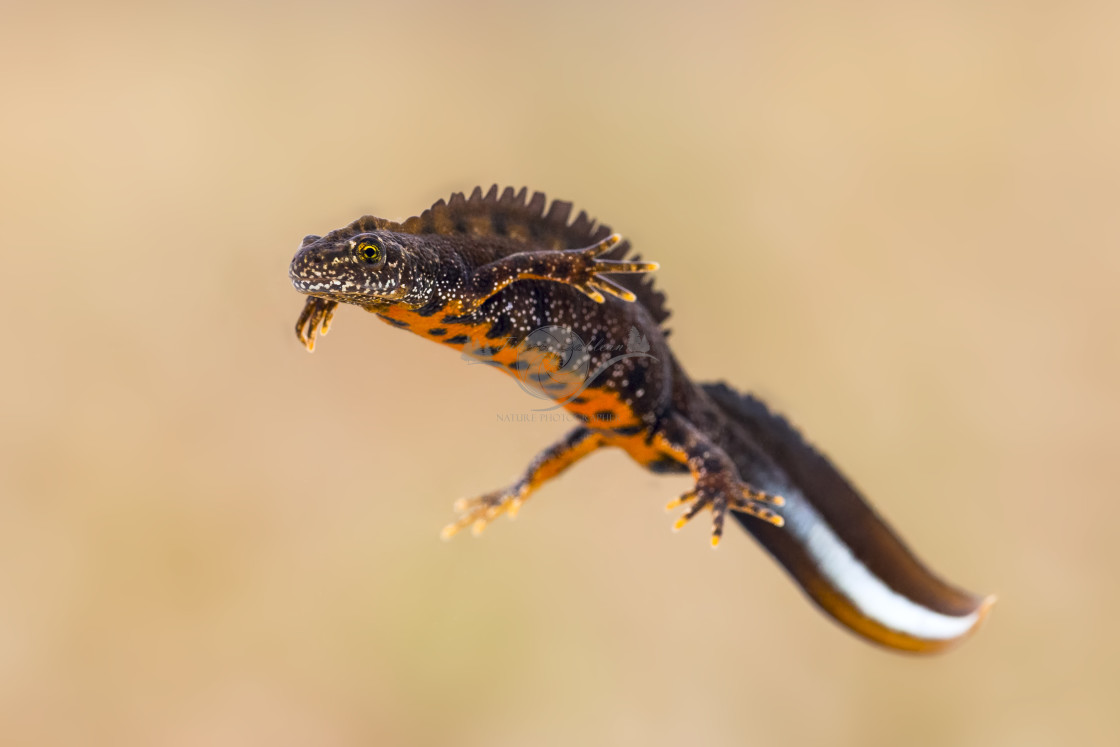 """Great crested newt"" stock image"