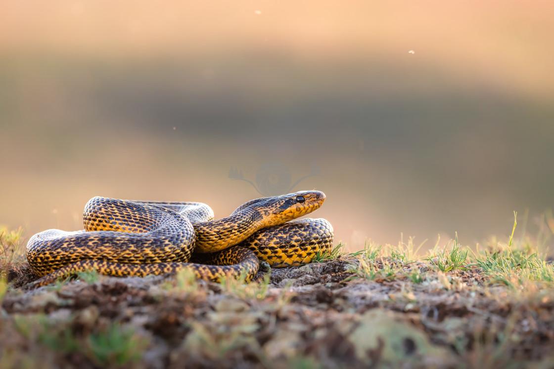 """Blotched snake"" stock image"