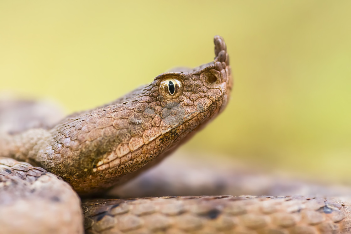 """""""Nose-horned viper"""" stock image"""