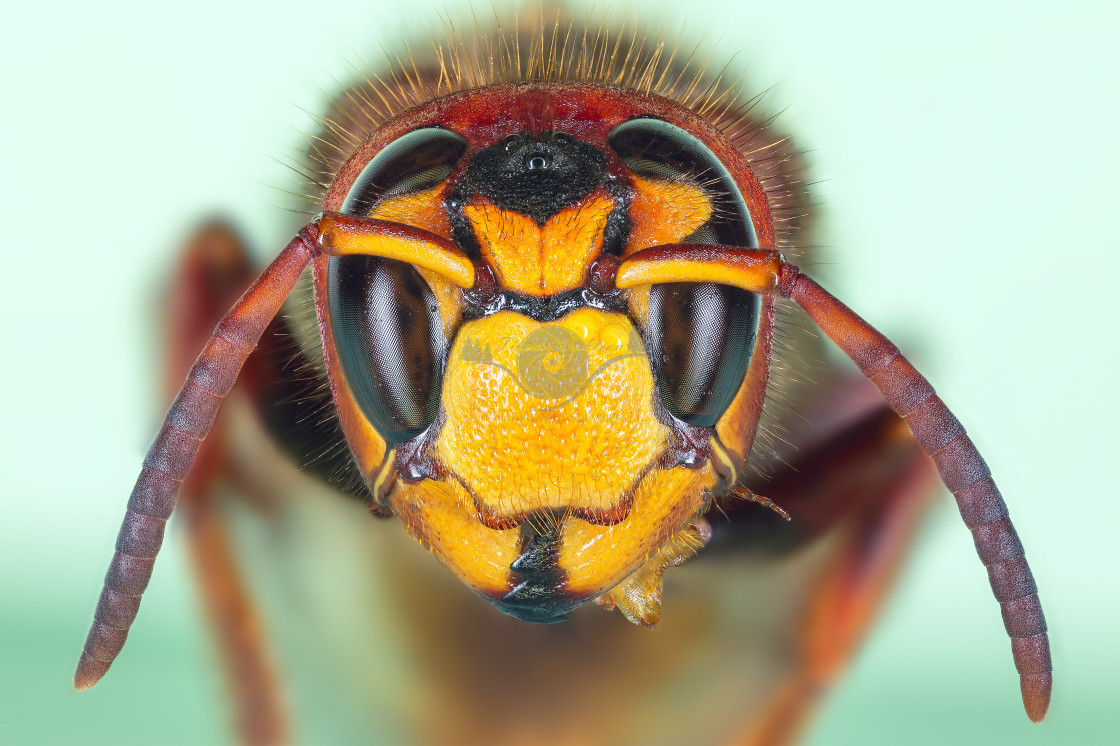 """European hornet"" stock image"