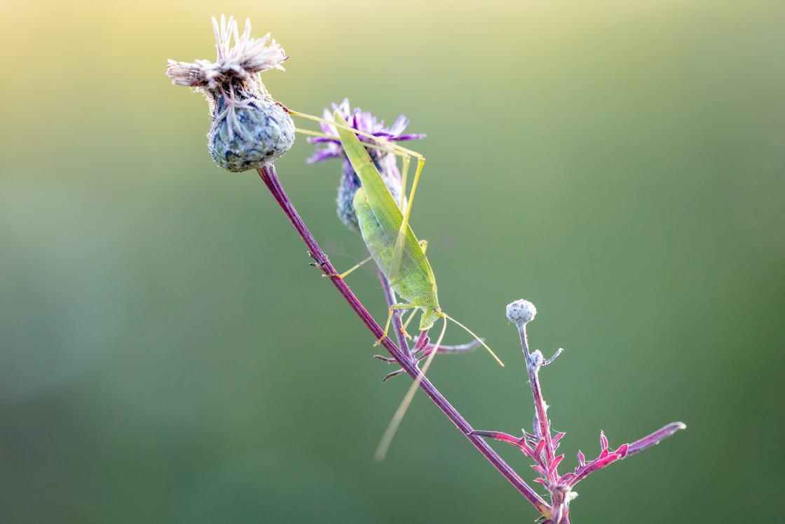 """Sickle-bearing bush-cricket"" stock image"