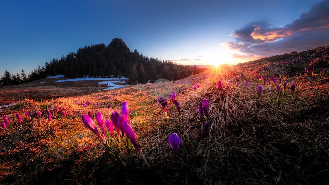 """""""Crocuses in the sunset"""" stock image"""