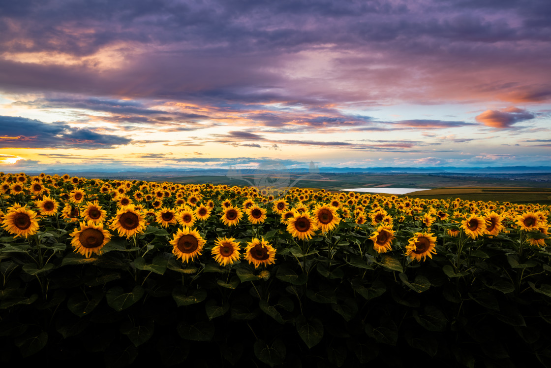 """Sunflowers"" stock image"
