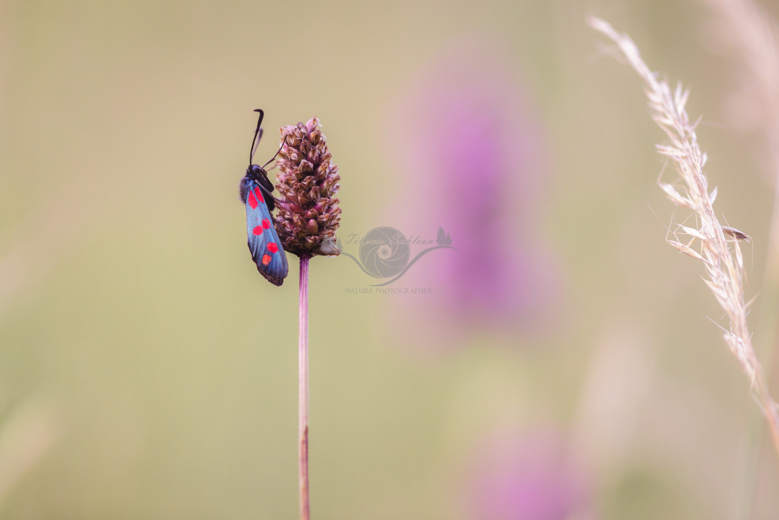 """Six-spot burnet"" stock image"