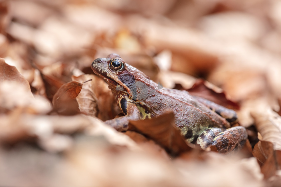 """Common frog"" stock image"